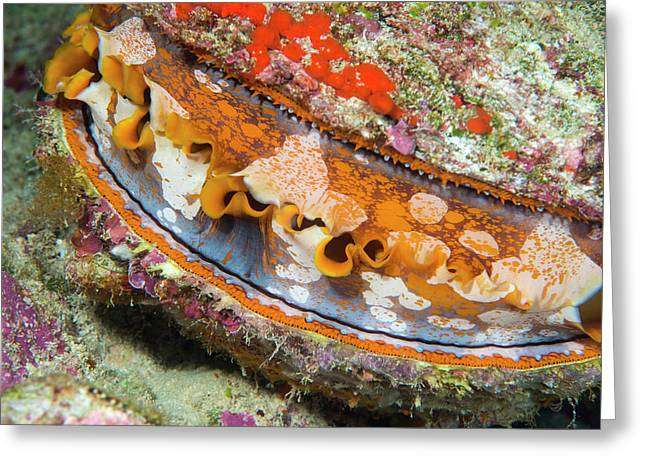 Thorny Oyster On A Reef Greeting Card by Louise Murray