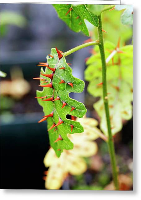 Thorny Popolo (solanum Incompletum) Leaf Greeting Card by Michael Szoenyi