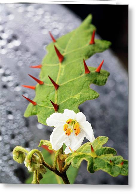Thorny Popolo (solanum Incompletum) Greeting Card by Michael Szoenyi