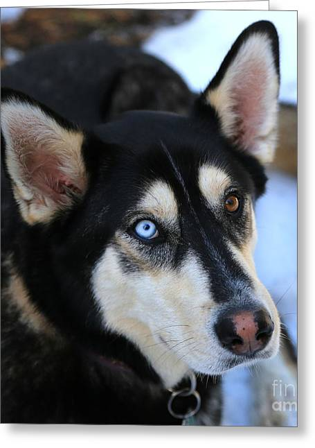 Husky Greeting Cards - Those Eyes Greeting Card by Carol Groenen