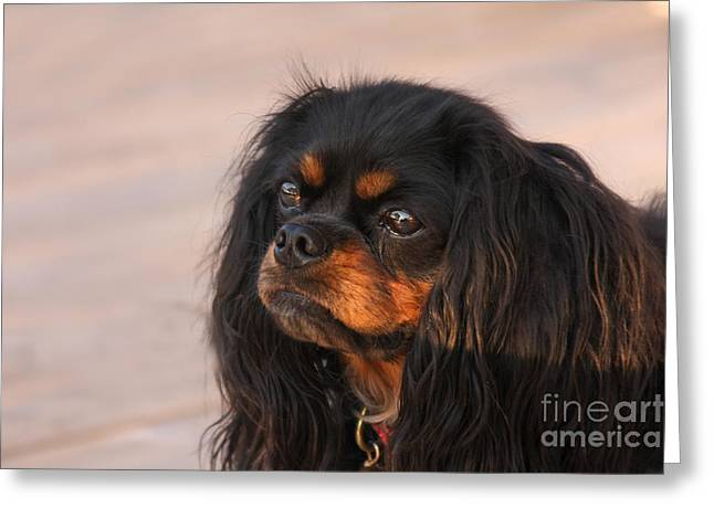 Black And Tan Greeting Cards - Thoughtful Cavalier Greeting Card by Kay Pickens