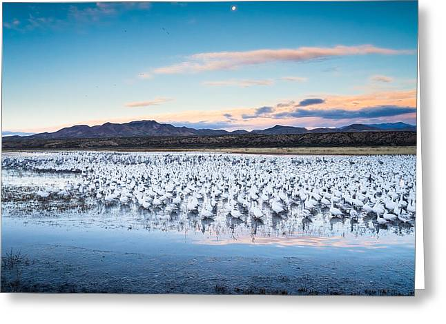 Snow Geese And Sandhill Cranes Before The Sunrise Flight - Bosque Del Apache, New Mexico Greeting Card by Ellie Teramoto