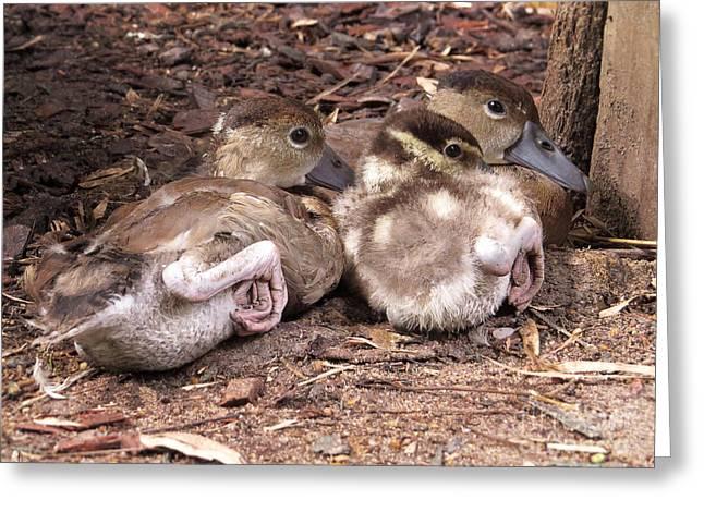 Veterinary Digital Greeting Cards - Three Baby Ducklings Greeting Card by Ella Kaye Dickey