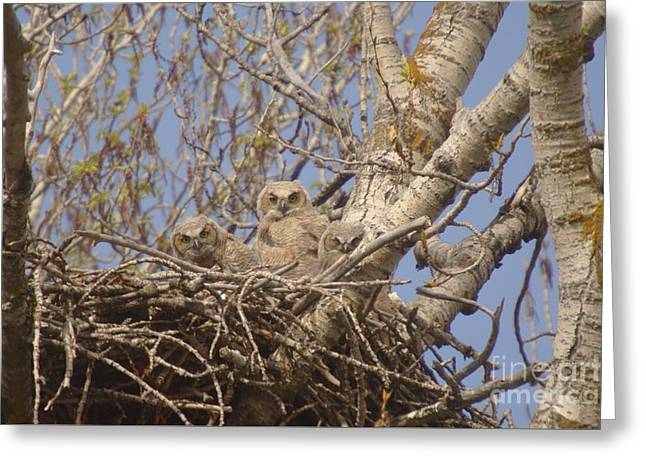 Three Baby Owls  Greeting Card by Jeff Swan