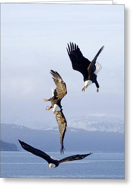 Three Speed Greeting Cards - Three Bald Eagles In Mid-air Conflict Greeting Card by Don Pitcher