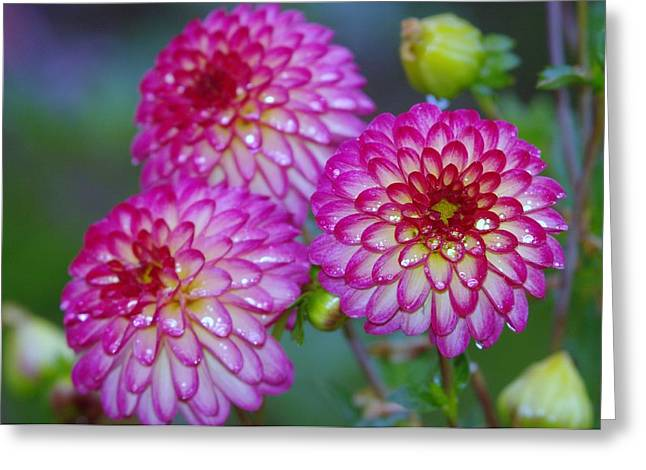 Soft Things Greeting Cards - Three Beauties Greeting Card by Jeff  Swan