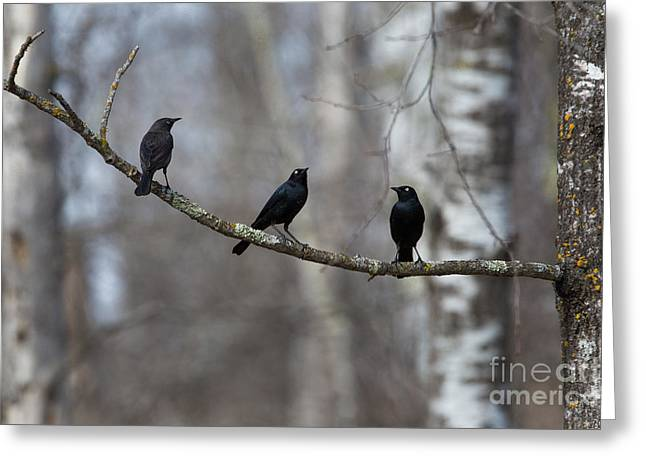 Animalia Greeting Cards - Three Brewers Blackbirds On A Limb Greeting Card by Linda Freshwaters Arndt