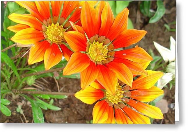 Blooms Greeting Cards - Three Bright Colored Gazania Flowers and Garden Greeting Card by Tracey Harrington-Simpson
