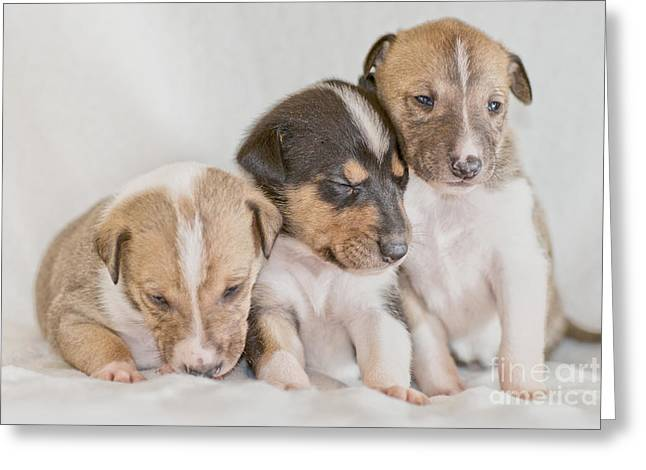 Dog Photo Greeting Cards - Three collie puppies Greeting Card by Martin Capek
