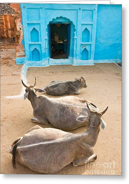 Nandi Greeting Cards - Three Cow in Orchha - India Greeting Card by Luciano Mortula