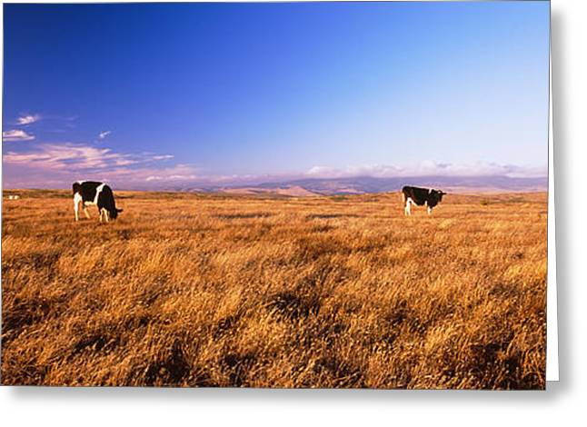 Three Cows Greeting Cards - Three Cows Grazing In A Field, Point Greeting Card by Panoramic Images
