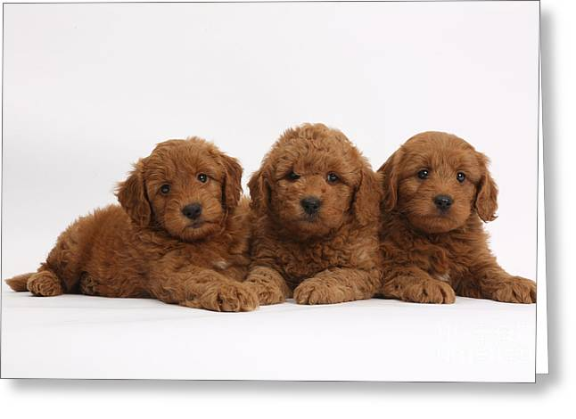 House Pets Greeting Cards - Three Cute Red F1b Goldendoodle Puppies Greeting Card by Mark Taylor