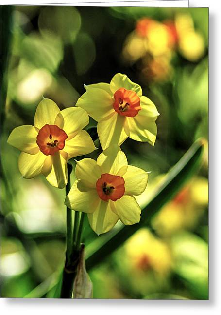 Green Day Greeting Cards - Three Daffodils Greeting Card by Richard Stephen