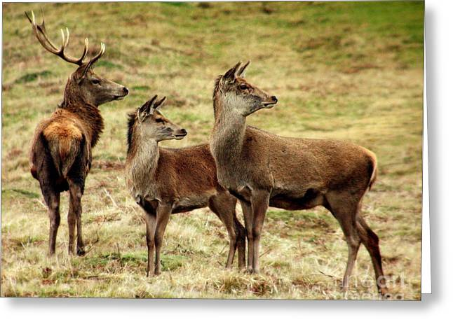 Decour Greeting Cards - Wildlife Three Red Deer Greeting Card by Linsey Williams