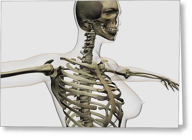 Costa Digital Greeting Cards - Three Dimensional View Of Female Rib Greeting Card by Stocktrek Images
