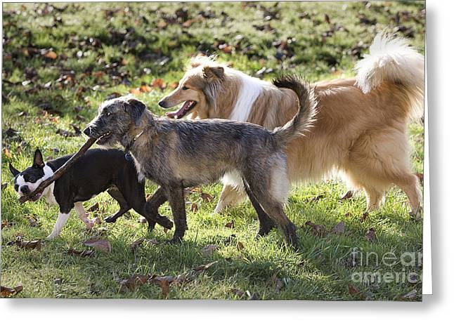 Dog Walking Greeting Cards - Three Dogs Greeting Card by Jean-Michel Labat