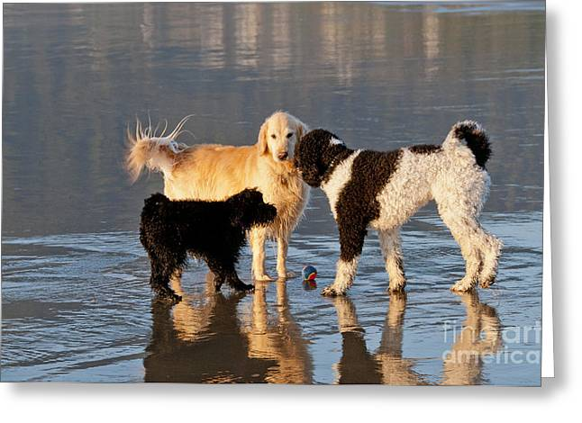 Playful Dog Greeting Cards - Three Dogs On A Beach Greeting Card by William H. Mullins