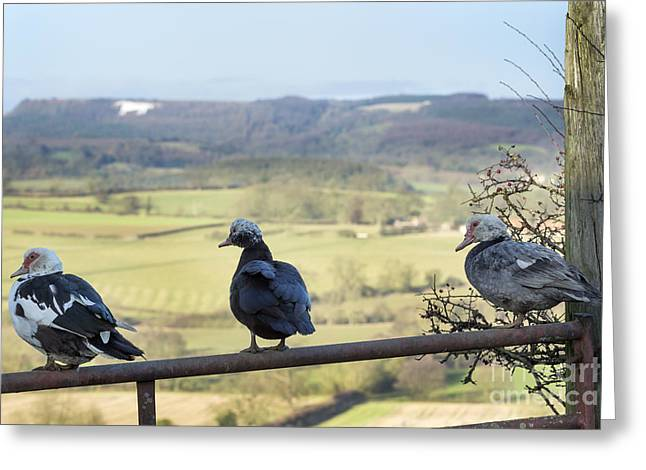 Three Ducks On A Gate Greeting Card by John Potter