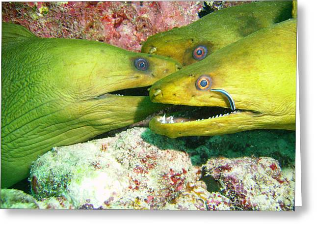 Scuba Diving Greeting Cards - Three Eels Greeting Card by Jimmy Nelson