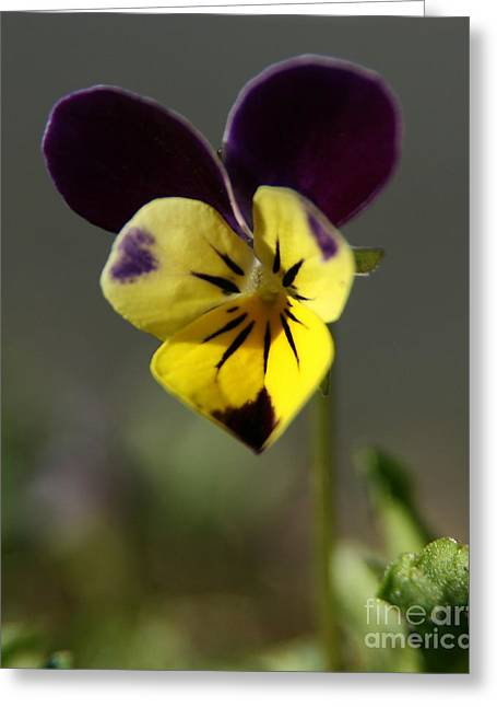Johnny Jump Up Pansy Greeting Cards - Three Faces and a Hood   Greeting Card by Neal  Eslinger
