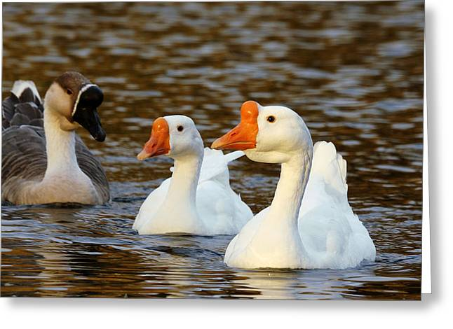 Eggheads Greeting Cards - Three Geese Afloat  Greeting Card by Lorenzo Williams