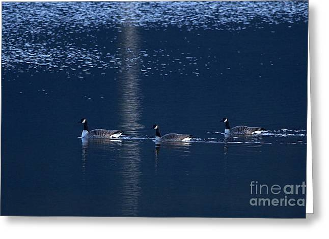 Cackle Greeting Cards - Three Geese Swimming Greeting Card by Sharon  Talson