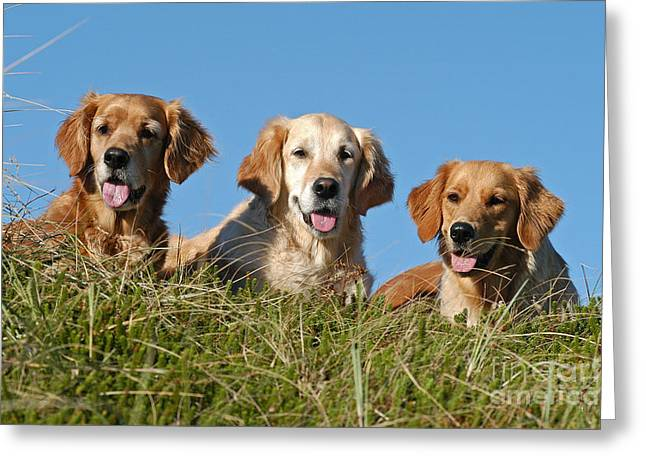 Drei Greeting Cards - Three Golden Retriever dogs lying in grass Greeting Card by Dog Photos