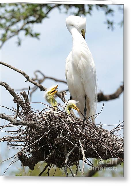 Baby Bird Greeting Cards - Three Great Egret Chicks in Nest Greeting Card by Carol Groenen
