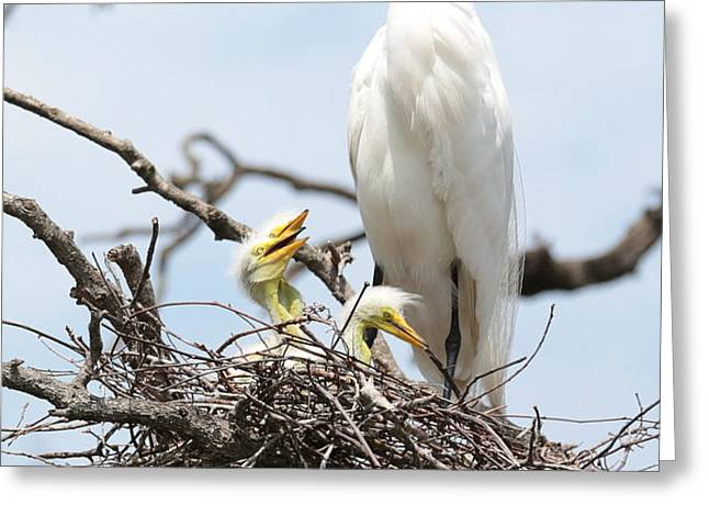 Three Great Egret Chicks in Nest Greeting Card by Carol Groenen