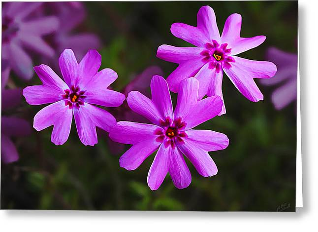 Macro Floral Photos Greeting Cards - Three in the Pink Greeting Card by Bill Caldwell -        ABeautifulSky Photography