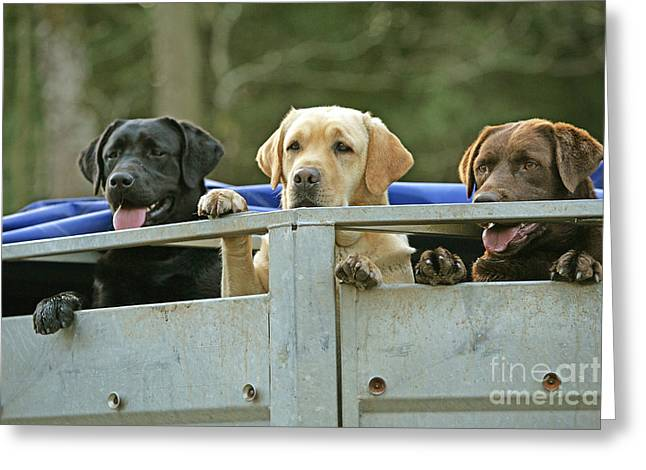 Chocolate Lab Greeting Cards - Three Kinds Of Labradors Greeting Card by Jean-Michel Labat