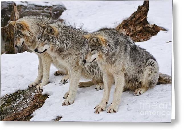 Timber Wolf Pics Greeting Cards - Three Kings Greeting Card by Wolves Only