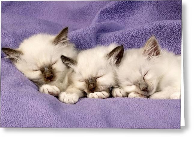 Animals Sleeping Greeting Cards - Three Kittens Sleeping Greeting Card by Greg Cuddiford