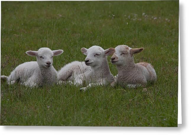 Three Lambs Greeting Card by Richard Baker