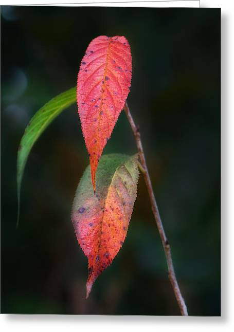 Brenda Bryant Photographs Greeting Cards - Three Leaves of Fall Greeting Card by Brenda Bryant