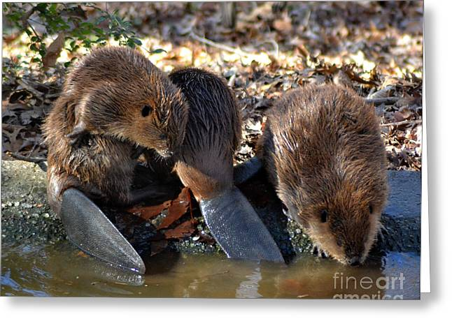 Whiteoaks Photography Greeting Cards - Three Little Beavers Greeting Card by Eva Thomas