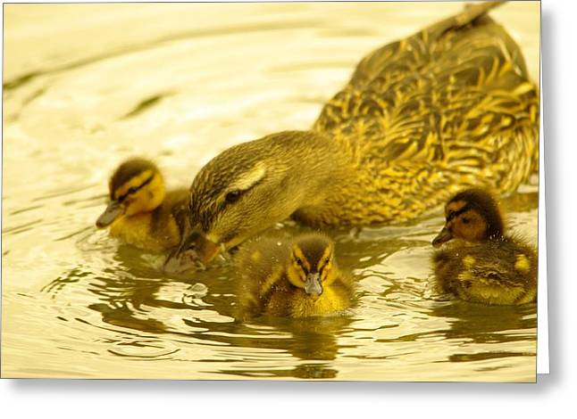 Water Fowl Greeting Cards - Three Little Duckies And Mom Greeting Card by Jeff  Swan