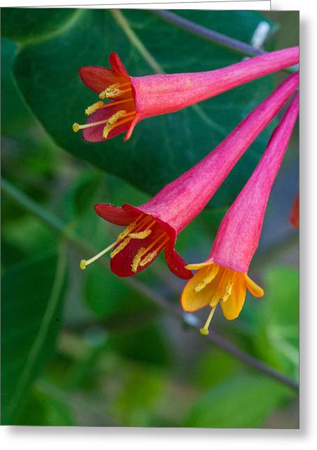 Vine Leaves Greeting Cards - Three Lonely Honeysuckle Blossoms Greeting Card by Douglas Barnett