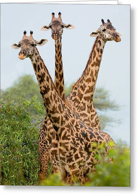 Triplets Greeting Cards - Three Masai Giraffe Standing Greeting Card by Panoramic Images