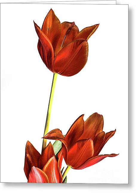 Linda Matlow Greeting Cards - Three orange red tulips Greeting Card by Linda Matlow