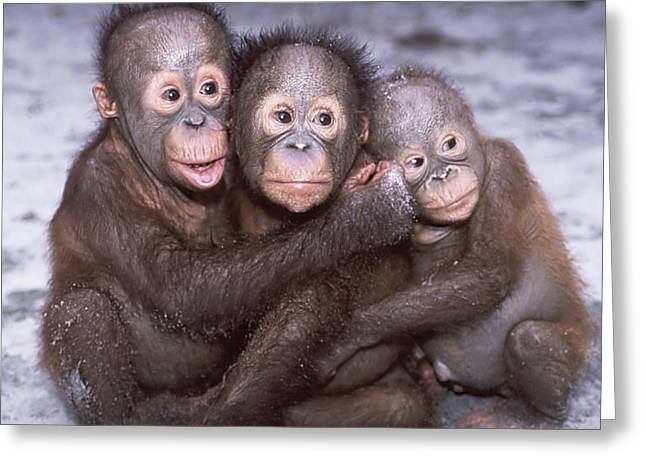 Love The Animal Greeting Cards - Three Orangutan Babies Greeting Card by Jodi Jacobson