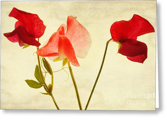 Pink Sweet Peas Greeting Cards - Three peas no pod Greeting Card by John Edwards