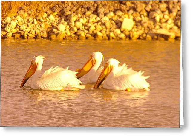 Migratory Bird Greeting Cards - Three Pelicans Fishing Greeting Card by Jeff  Swan