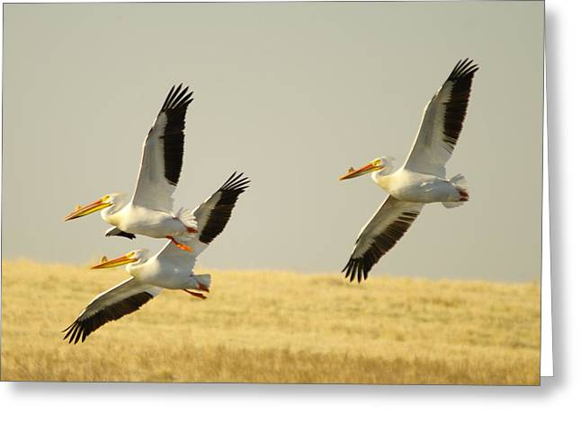 Living Things Greeting Cards - Three Pelicans In Medicine Lake Montana Greeting Card by Jeff  Swan