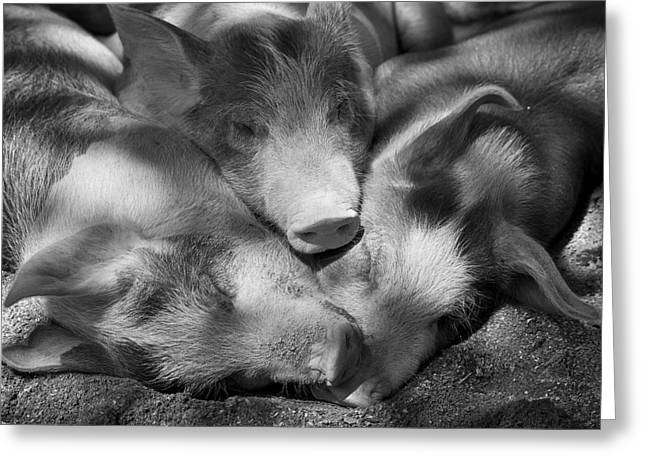 Piglets Greeting Cards - Three Piglets Sleeping Against Each Greeting Card by Patrick La Roque