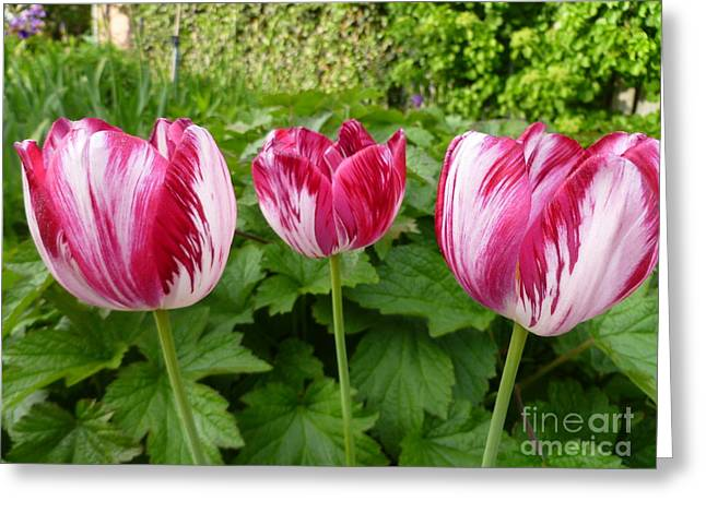 Three Pink Rembrandt Tulips Greeting Card by Lingfai Leung