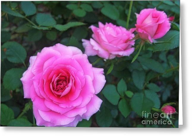 Pink Flower Prints Greeting Cards - Three Pink Roses Greeting Card by Nishanth Gopinathan