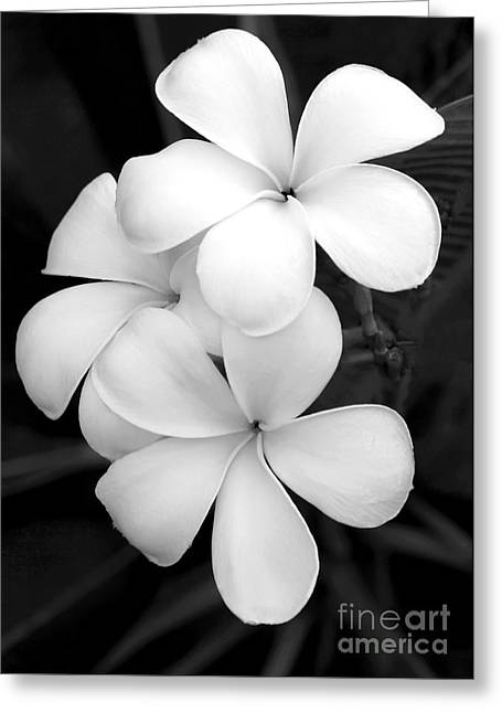 Closeup Greeting Cards - Three Plumeria Flowers in Black and White Greeting Card by Sabrina L Ryan