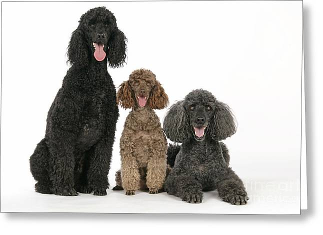 Three Sizes Greeting Cards - Three Poodles Greeting Card by John Daniels
