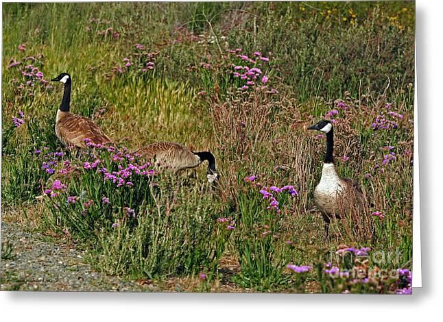 Three Quiet Canada Geese Greeting Card by Susan Wiedmann